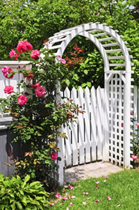 rose blooming on garden arch, climbing rose