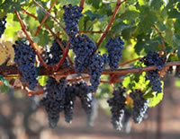 grapevines on a garden arbor or trellis