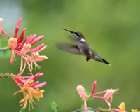 flowering vines attract hummingbirds to an arbor garden