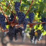 Garden Trellises, Arbors, Grape Vines, and Fruits